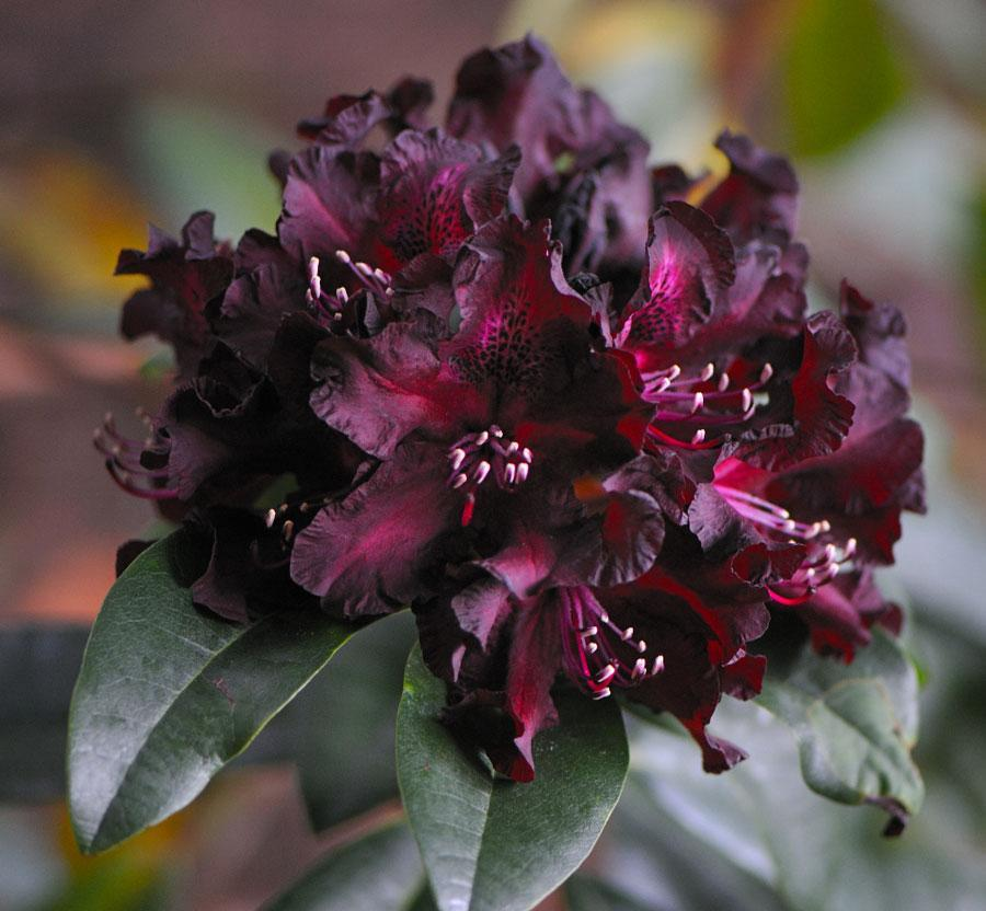 Rhododendro Black Widow - Río Tollo