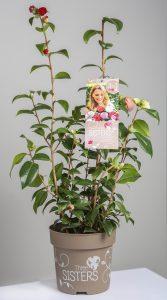 La nueva variedad de Camellia Three Sister de Río Tollo