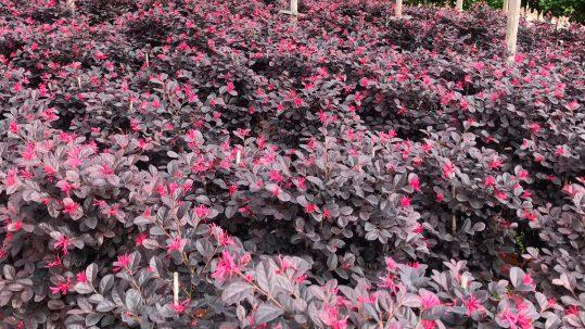 Un jardín lleno de contrastes con nuestros loropetalum