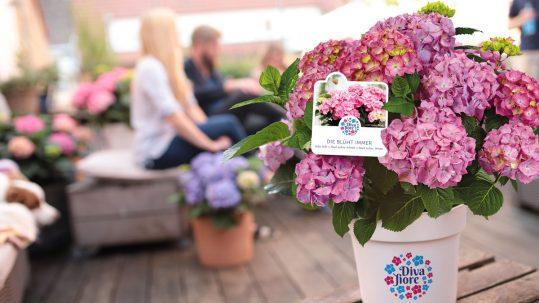 Diva Fiore®, la hortensia de flores infinitas