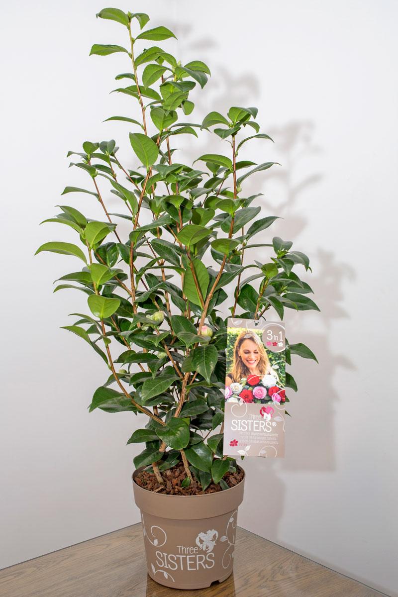 Camellia Three Sisters, tres variedades, tres colores, una sola planta
